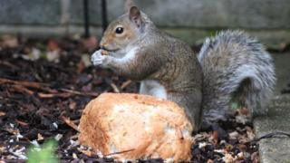 Grey squirrel eating bread put out on the ground