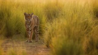 เสือเป็นหนึ่งในสัตว์ผู้ล่าที่เสียอาณาเขตตามธรรมชาติให้กับมนุษย์ไปแล้วเกือบทั้งหมด