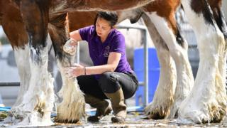 Michelle Mayberry prepares Clydesdale horse Poacher