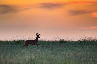 Deer running across a field