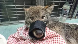 Волк в ветеринарной клинике