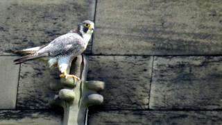 A peregrine falcon in Leicester