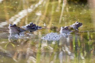 Frogs and frog spawn