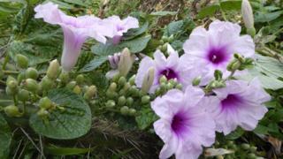 زهرة من وديان بوليفيا