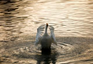 A swan flaps its wings