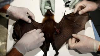Scientists take a sample for research on the coronavirus on a bat in France. File photo