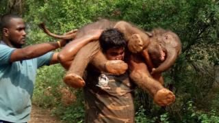 Sarathkumar carries the calf