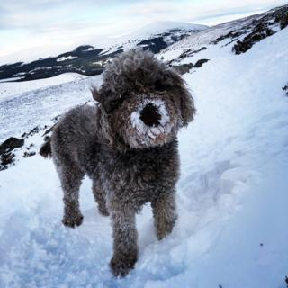 Two year old labradoodle Marnie in the snow at Cairngorm Mountain.