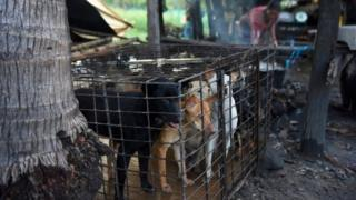 india Dogs are kept in a cage as a woman boils water at a slaughterhouse in Siem Reap province (file photo)