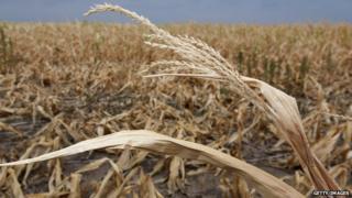 drought crop