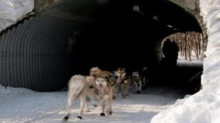 Dallas Seavey of Alaska steers his sled-dog team through a tunnel on a trail outside Anchorage (03 March 2007)