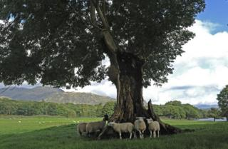 Ash tree struck by lightning beside Coniston Water
