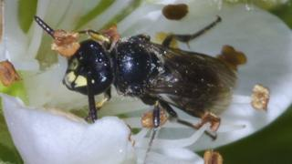 A yellow-faced bee in Hawaii. (Picture provided by John Kaia)
