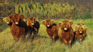 Highland cows near Bridge of Balgie