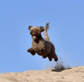 Labradoodle jumping across sand dunes