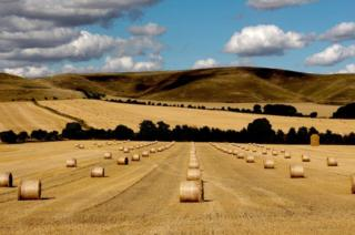 Rows of harvested barrels in a field