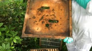 Beekeeper showing bees