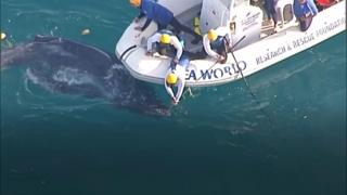 Baby whale being rescued