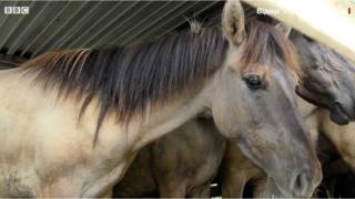 Кінь породи Konik