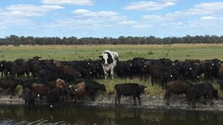 Knickers among a herd of wagyu cattle