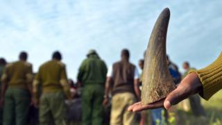 Rhino horn being held in a man's hand