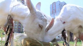 Сусіди скаржились, що кози з ферми нищать клумби
