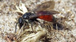 Bees: Twenty one species in NI 'at risk of extinction'