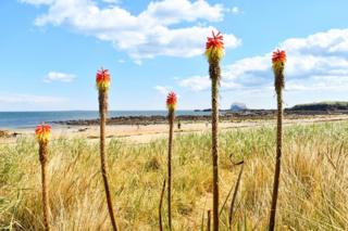 Alan Dee took this photo on North Berwick beach showing the Bass Rock through the red hot pokers
