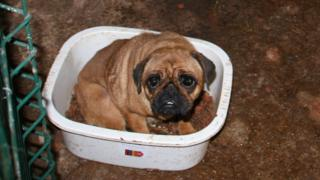 Phoebe the pug was found by the RSPCA