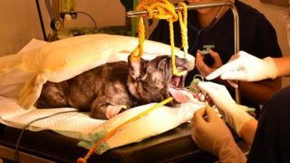 Dog having surgery