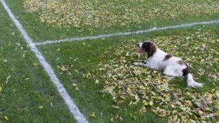 Dog lying down on sports pitch marked with white lines