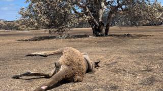 A dead burnt kangaroo corpse on Kangaroo Island