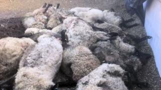 Dead sheep in Boreham Bridge