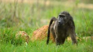 A baboon in South Africa
