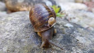 Jeremy the lefty snail and one of his offspring