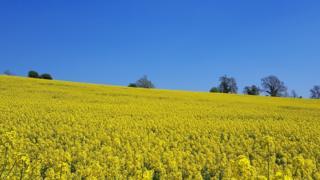 Rapeseed field near Chipping Norton
