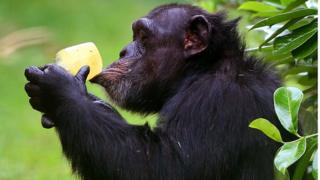 Chimp with ice lolly