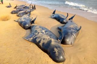 Pilot whales are seen swept ashore on a beach near Tuticorin, Tamil Nadu, India, 12 January 2016