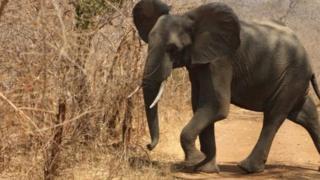 éléphant d'Afrique