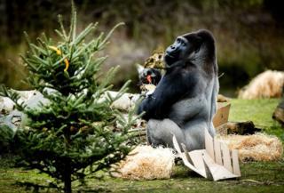 Горилла в зоопарке в Нидерландах