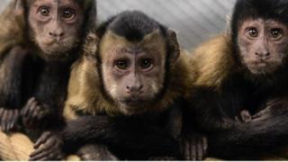 """在實驗裏,猴子做了些""""財務性""""的決策,竟與人類所做的不謀而合。"""