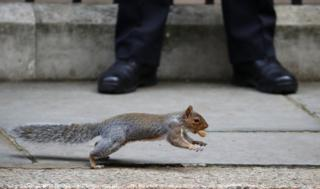 A squirrel carries a nut.