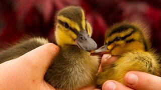 Ducklings at orphanage