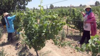 Tunisian vineyard workers