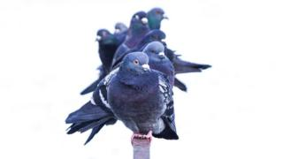 Group of pigeons perched on a metal railing