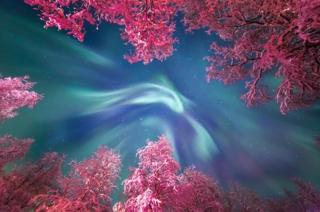 The turquoise of the Aurora Borealis swirls above the snow covered trees
