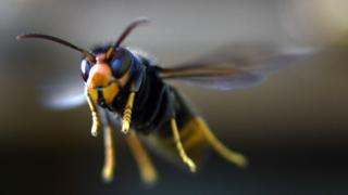 The invasive Asian hornet