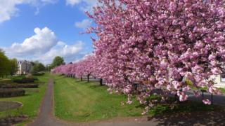 cherry trees at the old railway station in Bonnybridge