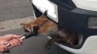 Fox stuck in grille
