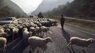 осетія, вівці, гори